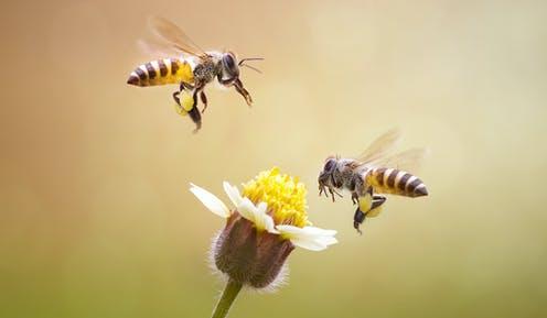 초미세먼지에 길 잃는 꿀벌들…꽃 찾는 비행시간 1.7배로 늘어.jpg