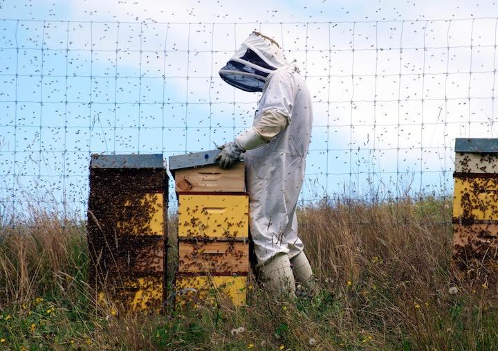 꿀벌은 농작물의 꽃가루받이를 담당하고 있다.jpg
