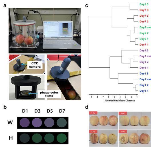 이번 연구를 통해 개발된 나노 바이오 전자코로 측정한 실제 과일(복숭아)의 신선도 변화. 부산대 제공.jpg