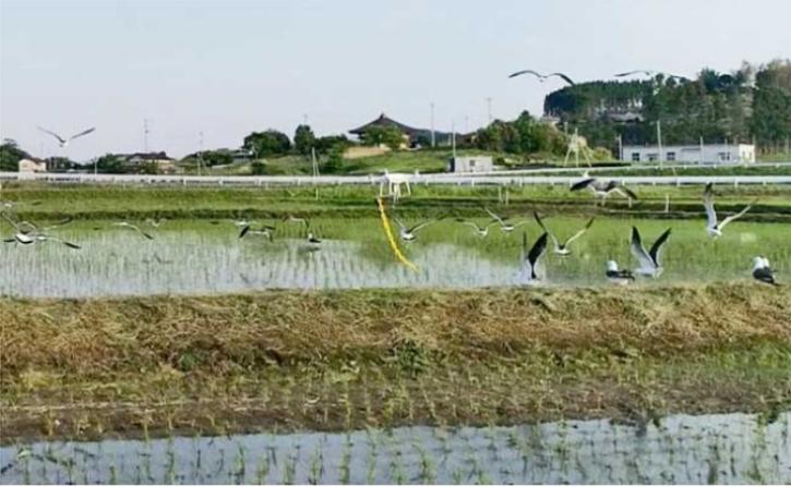 플라스틱 체인을 단 드론이 괭이갈매기를 내쫓고 있다. 사진제공=일본농업신문.png